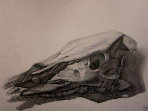 Tierschädel-Zeichnung-Anja Brinkmann